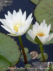 P2080942 STAND TALL (Frozen in Time photos by Marianne AWAY OFF/ON) Tags: flowers white flower green nature yellow waterlily waterlilies groundsforsculpture floweraddicts flowersarebeautiful flowersallkinds flowersarefabulous