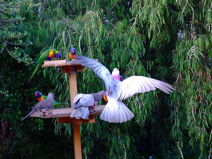 two galahs five lorikeets