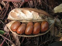 Castanospermum australe (Black Bean)