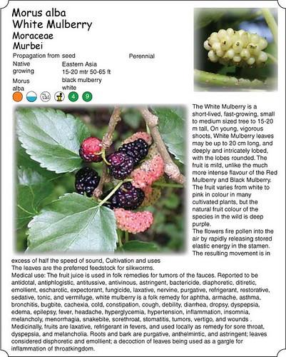 Morus-alba, White Mulberry , Murbei