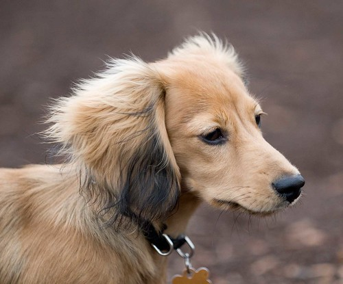 long haired dachshund mix. long haired dachshund 6