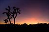 Joshua Tree - Postcard Interpretation (Amicus Telemarkorum) Tags: california pink sunset sky orange tree rose clouds purple desert joshuatree explore naturephotography joshuatreenationalpark jeffreyrueppelphotography
