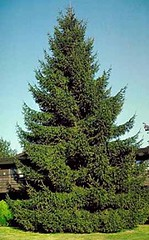 the perfect christmas tree can be yours at the middleburg christmas tree farm where you can cut your own norway spruce colorado blue spruce - Middleburg Christmas Tree Farm