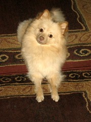 IMG_8929 (kelaltieri) Tags: bear family friends dog white love puppy cream pomeranian spitz germanspitz klienspitz