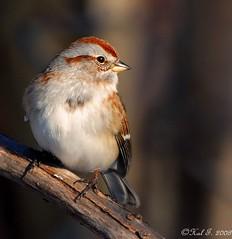 American Tree Sparrow (Hal Trachtenberg) Tags: grandmother thumbsup bigmomma challengeyou challengeyouwinner cywinner a3b pfogold vosplusbellesphotos motmjan09 a3bchallenges tuchallenges