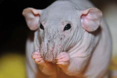 Vincenzo (KristyR929) Tags: pet nikon rat dumbo explore hairless vincenzo d300 nikkor105mmf28gvrmicro nikond300