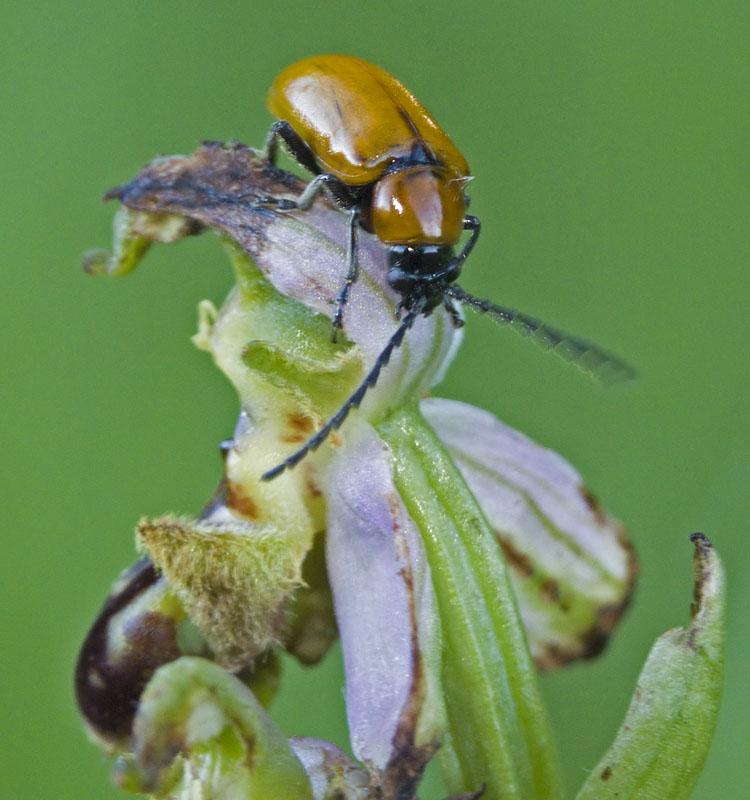 Demande si bonne identification insecte sur apifera 3655591092_9325bc635a_o