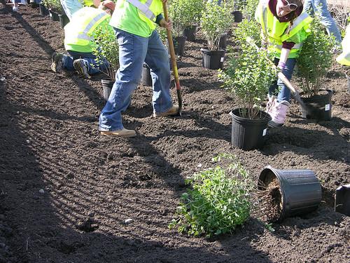 2011 Arbor Day shrubs