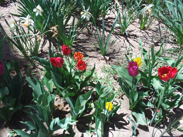 Tulips In Late April