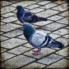 IMG_0095_HDR Texture (PCsAHoot - Dipping toes in...) Tags: bird texture nature pigeon hdr 1001nightsmagiccity