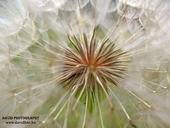 Pitypang  /  Dandelion (Nagy Dávid † www.davidfoto.hu) Tags: ngc soe virágok topshots specanimal masterphotos mywinners abigfave platinumphoto colorphotoaward ultimateshot avianexcellence flowersarebeautiful theunforgettablepictures top20spring goldstaraward excapturemacro excellentsflowers excellentsflower thesuperbmasterpiece natureselegantshots naturethroughthelens explorewinnersoftheworld mimamorflowers panoramafotográfico saariysqualitypictures thebestofmimamorsgroups hebestofmimamorsgroups saariyqualitypictures theoriginalgoldseal theoriginalgoldsea flickrsportal