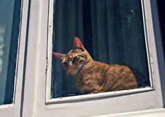 gatta di Sintra (che sia maschio o femmina non lo so, ma mi piace pensarla gatta) (tazzadithefumante) Tags: window glass cat canon curtain kitty finestra occhi sguardo ojos gato gatto noia tenda vetro micio okno gattino baffi