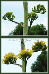 Agave desmettiana (Smooth Agave) with flower buds and bright yellow blooms - April 15&28 2011