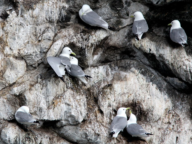 Black-legged Kittiwakes 3-20110622