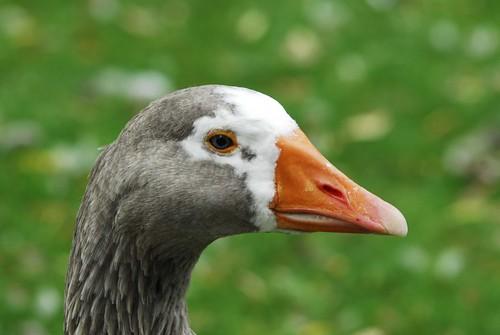 Stalking a Goose