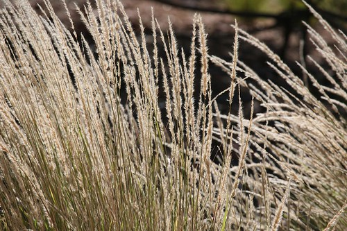 Native Grasses, Central Australia. by Michael J. Barritt