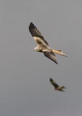 Red Kite (Milvus Milvus) (Winterspeak) Tags: uk red kite bird station wales fauna flying feeding farm centre prey powys rhayader milvus gigrin futilityhalloffame2008