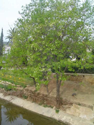 Robinea pseudoacacia: acacia blanca