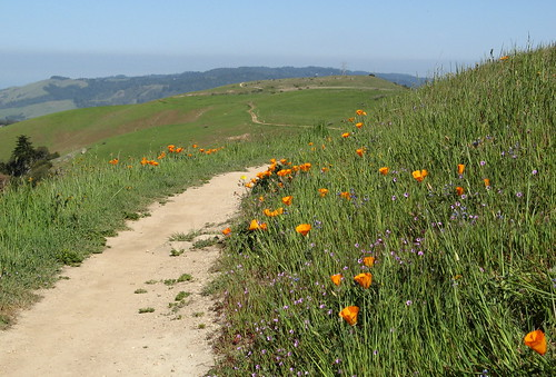 Poppies along the trail