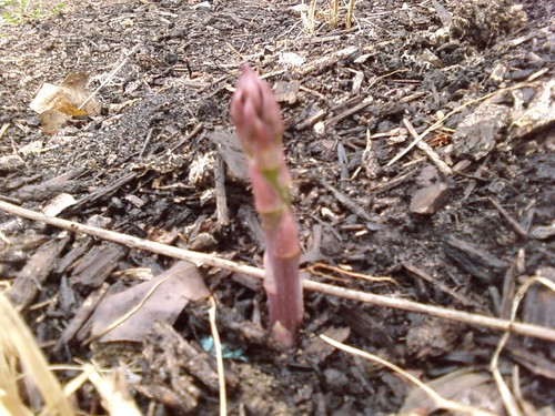 My asparagus is coming up
