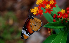 My first butterfly shot (Flower) Asclepias curassavica, Scarlet milkweed, Monarch (natureloving) Tags: red orange india flower colour nature butterfly monarch yello butterflyweed asclepiascurassavica asclepiastuberosa flickrsbest afsvrmicronikkor105mmf28gifed scarletmilkweed mywinners aplusphoto nikond40x natureloving flowersinfrance flowersinindia flickrplantproject fleursenfrance