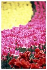Tulip 080424 #03