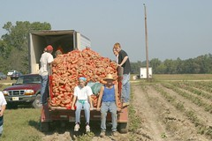 gleaning sweet potatoes