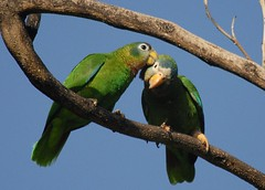 Pair of Yellow Billed Parrots (Jamdowner) Tags: wild birds yellow amazon parrot kingston jamaica lovebirds endemic parrots standrew billed hopegardens amazonacollaria yellowbilledparrots jamaicanyellowbilledparrot yellowbilledparrot yellowbilledamazon
