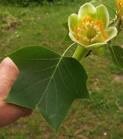 TulipPoplar1