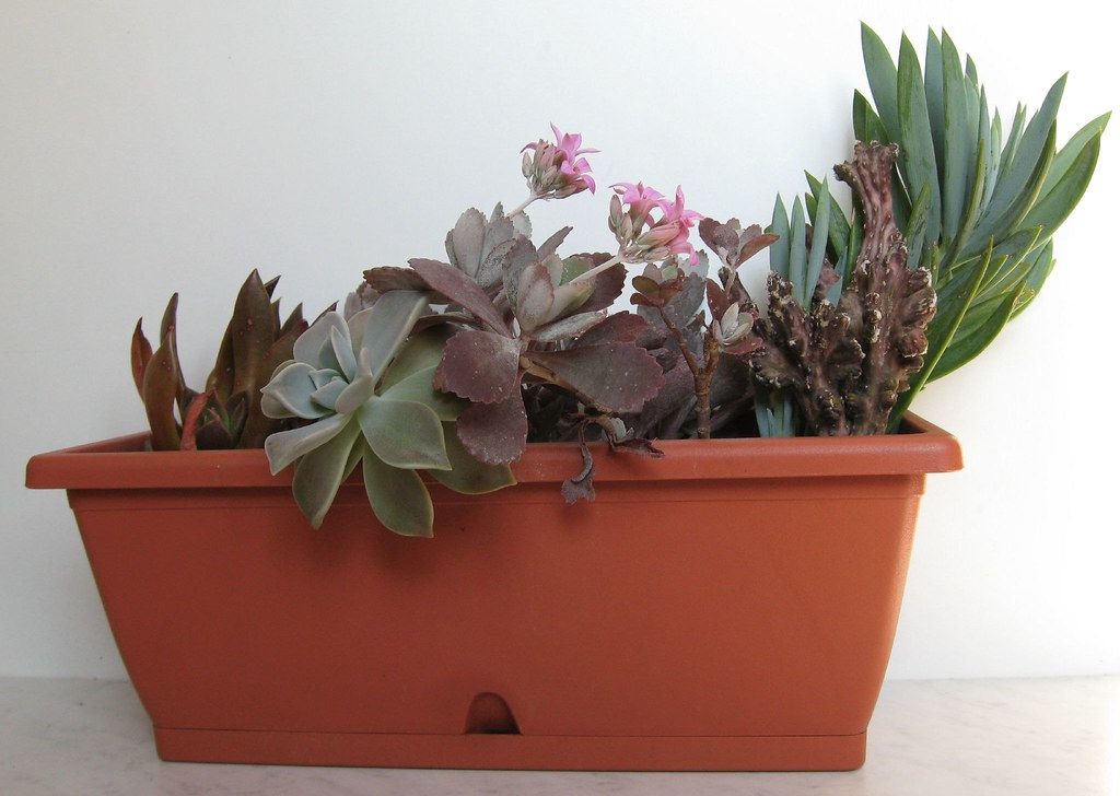 The World S Best Photos Of Kalanchoe And Pumila Flickr Hive Mind