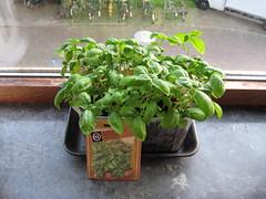 Basilicum: 4 setmanes (Xesc) Tags: basilicum planten plantes insulindeweg hortet