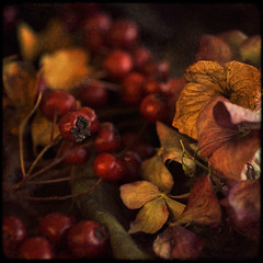 Riches (borealnz) Tags: autumn red flower texture square berry bravo berries hawthorn palabra bsquare hydreangea thanksnesster vision100 borealnz