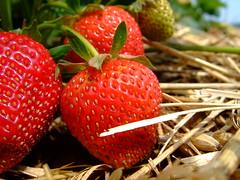 [フリー画像] [食べ物] [果物/フルーツ] [苺/イチゴ]        [フリー素材]