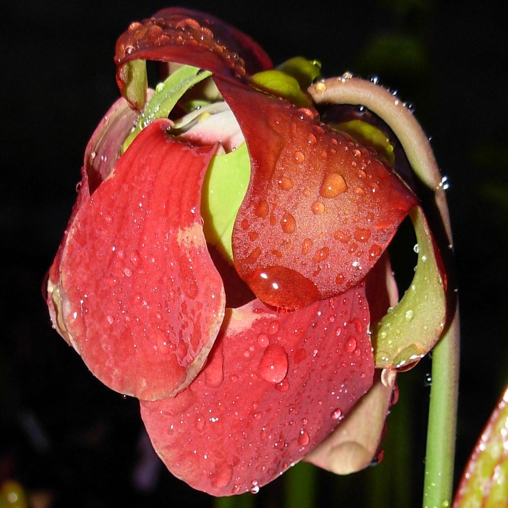 S. x popei flower