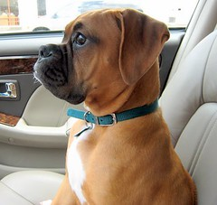 WHAT was THAT (sylkyred1) Tags: dog male car riley startled gorgeous boxer curious watchful atattention platinumphoto theunforgettablepictures rileytheboxerpuppy