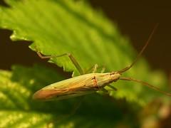 Stenodema laevigata (Walwyn) Tags: insect warwickshire truebug heteroptera laevigata walwyn draycotemeadows stenodema stenodemalaevigata profmoriartydotcom:book=960