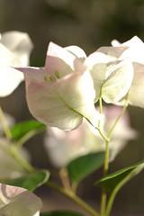 bouganvilla (Treesa!) Tags: sunlight plant flower sunshine petal bouganvilla brillianteyejewel