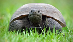 Florida's Gopher Tortoise (minds-eye) Tags: nature florida turtle reptile tortoise swamps endangered guana endangeredspecies gophertortoise gtmnerr