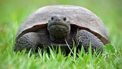 Florida's Gopher Tortoise (minds-eye) Tags: nature florida turtle reptile tortoise swamps endangered guana endangeredspecies gophertortoise gtmnerr