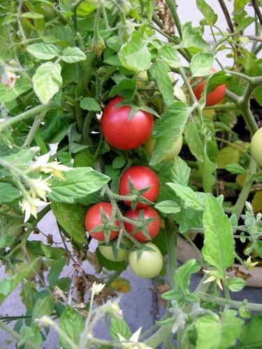 tomato1396