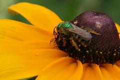 green metalic bee on black eyed susan