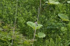 エサをせっせと巣に運ぶノビタキ