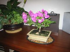 Bonsai Bougainvillea 2 (sfa14) Tags: bougainvillea bonsai riverpebbles bonsaibougainvillea