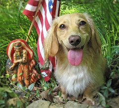 Happy Fourth of July (Doxieone) Tags: pink blue red dog white cute english tongue yard garden long sam uncle flag 4 cream july dachshund honey final blonde haired coll longhaired honeydog topfavorite englishcream honeyset 124371908 1253071908