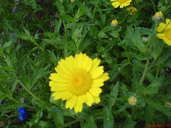 Corn Marigold (Wildlife Gardener) Tags: flowers with 1st britain wildlife bees working insects bloom british prize organic 2008 highly gardener keeping 2007 beneficial commended