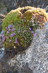 """DSC_4065 - mystery 10"""" moss on rock"""