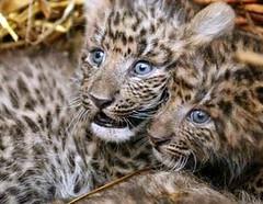 Teen leopard porn