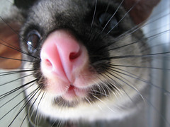 Gizmo (Ali Nisbett) Tags: possum animals wildlife marsupial marsupials possums australiananimals australianwildlife brushtail babypossum australiannativeanimals nativeanimals brushtailpossum nativewildlife australiannativewildlife wildlifevictoria wildlifecare babypossums brushtailpossums babybrushtailpossum