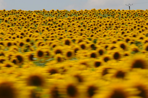 sunflowers_8922 web