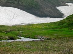 北海沢の雪渓とお花畑